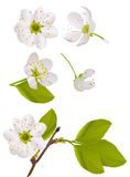 White cherry tree flowers set Royalty Free Stock Image
