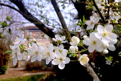 White Cherry tree flowers in spring Royalty Free Stock Images