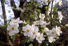 White Cherry tree flowers in spring Stock Photos