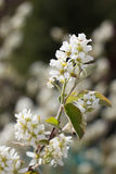 White Cherry tree spring blossom Stock Photos