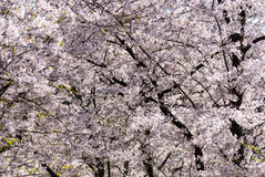 White cherry trees in full bloom on the sunny spring day. Royalty Free Stock Photography