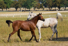 White and chesnut arabian horses Royalty Free Stock Photo