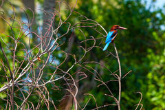 White Chest King Fisher Royalty Free Stock Photography