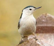 White chested nuthatch Royalty Free Stock Image
