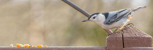 White chested nuthatch Stock Image