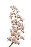 White chestnut bloom plant Stock Photography