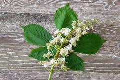 White chestnut Royalty Free Stock Photo