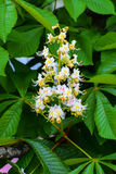 White chestnut flowers close-up photographed against Royalty Free Stock Photography