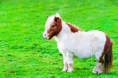 White chestnut pony horse in green grass field Royalty Free Stock Photography