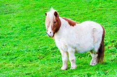 White chestnut pony horse in green grass field Royalty Free Stock Photos