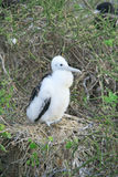 White chick frigate bird on the branch Royalty Free Stock Image