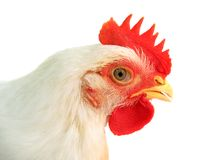 Free White Chicken Royalty Free Stock Photo - 10409915