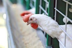 White chicken Royalty Free Stock Photos