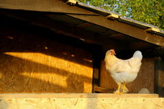 White chicken. In the chicken coop Stock Photography