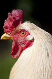 White chicken Royalty Free Stock Photography