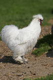 White chicken Royalty Free Stock Photo