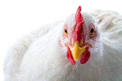 White chicken Royalty Free Stock Photos
