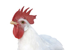 White chicken Stock Photography