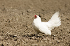 White chicken on earth. The white chicken is walking on the earth royalty free stock photos