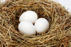 White chicken eggs in nest royalty free stock photo