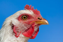 White chicken face closeup on blue sky royalty free stock images