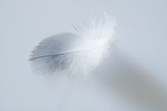 White chicken feather. Close up light grey background stock photography