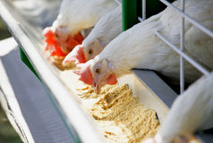 White chicken feed Stock Images