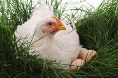 White chicken on grass. Stock Image