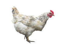 White chicken hen isolated over white Royalty Free Stock Photos