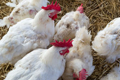 White chicken hens roosters 2 Royalty Free Stock Photography