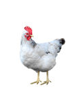 White chicken isolate Royalty Free Stock Photo