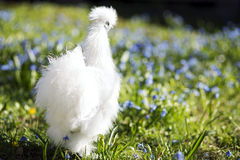 White chicken looking on the right Stock Photo