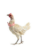 White chicken with pink bow tie walking Stock Photo