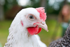 White chicken Stock Image