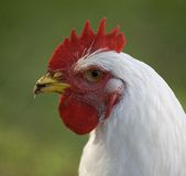 White chicken profile Royalty Free Stock Photo