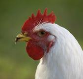 White chicken profile Royalty Free Stock Photo