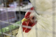 White chicken with a red beak sitting in a cage stock photography