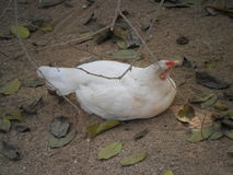 White chicken. Is resting after eating Royalty Free Stock Images