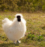 White chicken silkie bantam rooster organic lifest Stock Photography