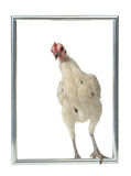 White chicken with silver frame Stock Images