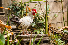 White chicken Royalty Free Stock Photo