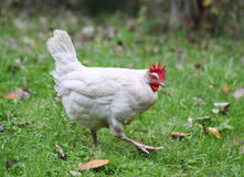 White chicken walking on green field.  Royalty Free Stock Photos