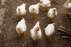 White chicken walking on the ground Stock Photos
