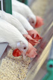 White chickens in a row stock photo