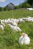 White chickens Royalty Free Stock Image