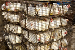 White chickens in cages, India Stock Images