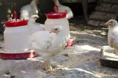 White chickens stock photo