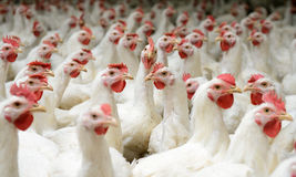 White chickens farm Stock Image