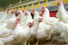 White chickens farm Royalty Free Stock Image