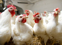White chickens farm Royalty Free Stock Images